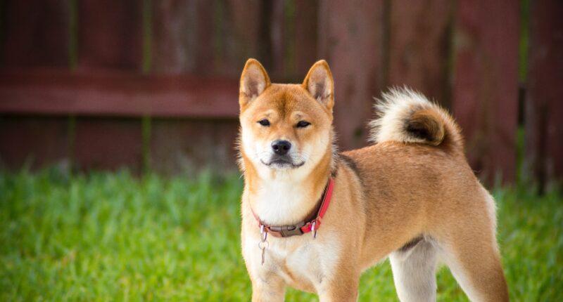 Baby Floki Meme Token Is Handing Out Amazing Dogecoin Rewards